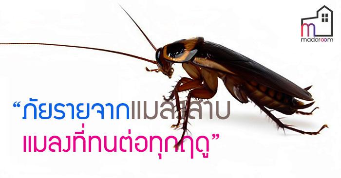 ภัยร้ายจากแมลงสาบ แมลงที่ทนต่อทุกฤดู