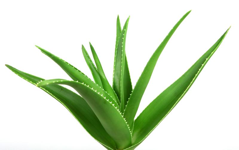 Aloe vera / ว่านหางจระเข้