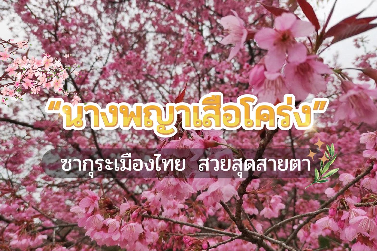 """ชม """"นางพญาเสือโคร่ง ซากุระเมืองไทย"""" สวยสุดสายตา"""