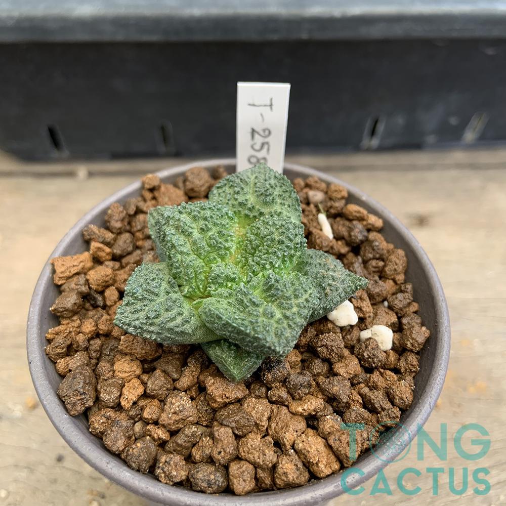 Ariocarpus fissuratus godzilla