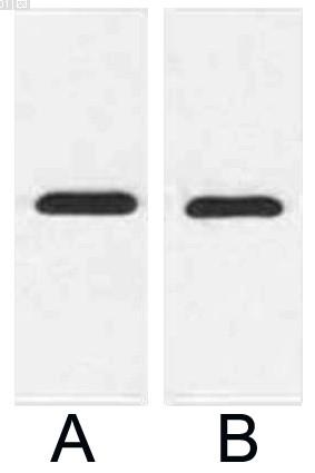 Anti-mCherry Tag Mouse Monoclonal Antibody (9D3)