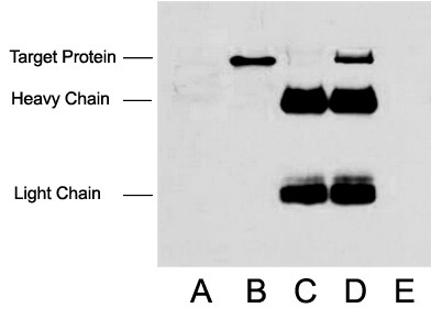 Anti-Flag Tag Mouse Monoclonal Antibody (1B10)