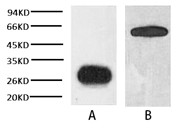 Anti-GFP Tag Mouse Monoclonal Antibody (3D3)