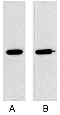 Anti-GST Tag Mouse Monoclonal Antibody (2A8)