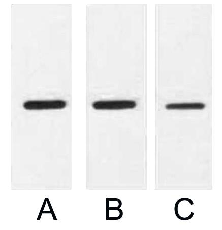 Anti-His Tag Mouse Monoclonal Antibody (5C3)