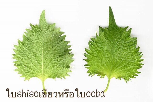 ใบSHISOเขียว