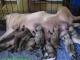 สาเหตุการตายของลูกสุนัขแรกเกิด