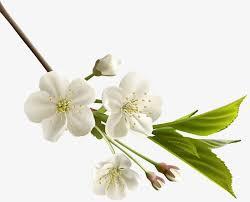 กลิ่นดอกแมกโนเลีย