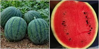เมล็ดแตงโมแดง (50s)