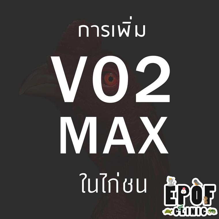 การเพิ่ม VO2 Max ในไก่ชน (ep.3)