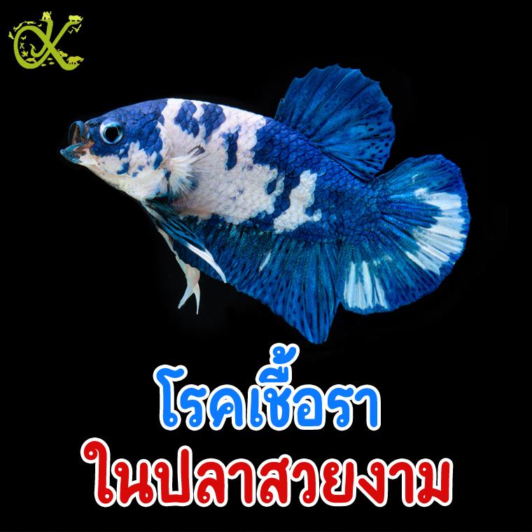 โรคเชื้อราในปลาสวยงาม