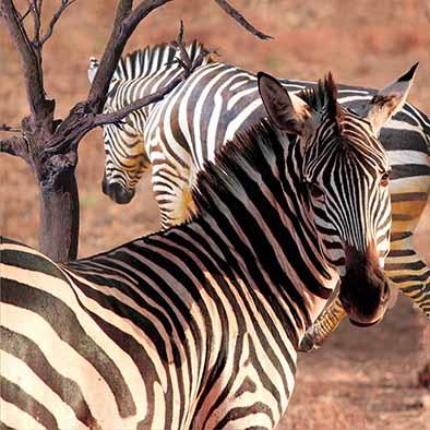 beautiful 3d pictures 3d pictures natural 3d lenticular poster zebra