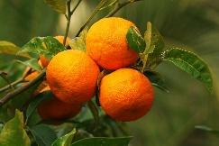 ส้มซ่าสมุนไพรช่วยบรรเทาอาการไข้ได้