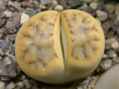 เมล็ด Lithops karasmontata 'Mickbergensis'