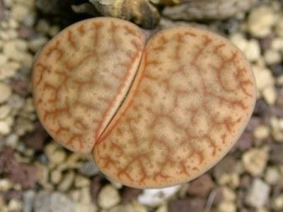 เมล็ด Lithops pseudotruncatella