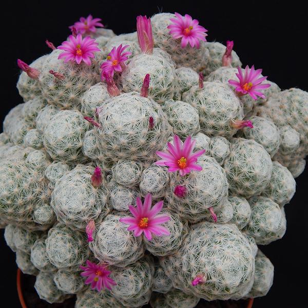 Mammillaria humboldtii v. caespitosa