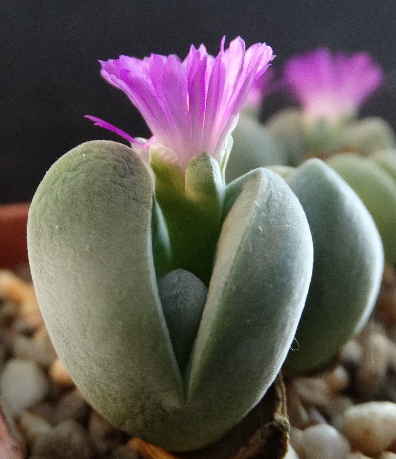 Gibbaeum shandii