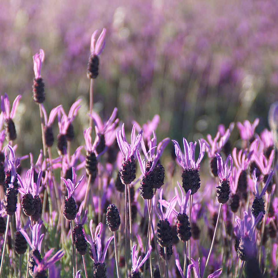 """ลาเวนเดอร์สเปน """"Spanish Lavender"""""""
