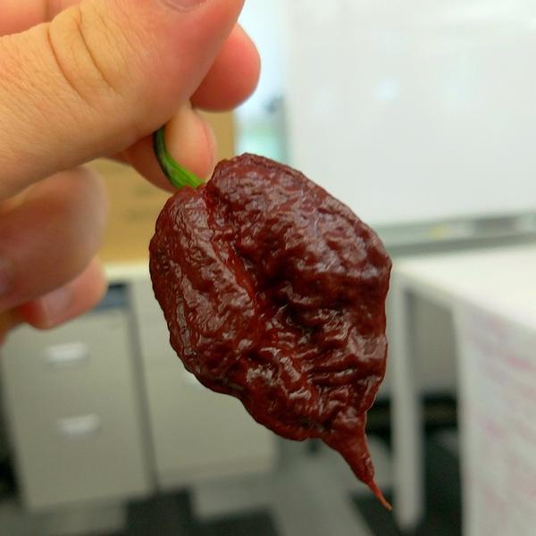 """พริกที่เผ็ดที่สุดในโลก สีช็อกโกแลต """"Chocolate Reaper Seeds"""""""