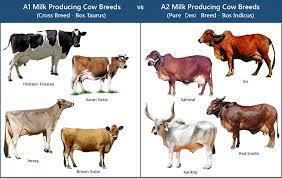 เปรียบเทียบสายพันธุ์โค  Bos Indicus & Bos Taurus