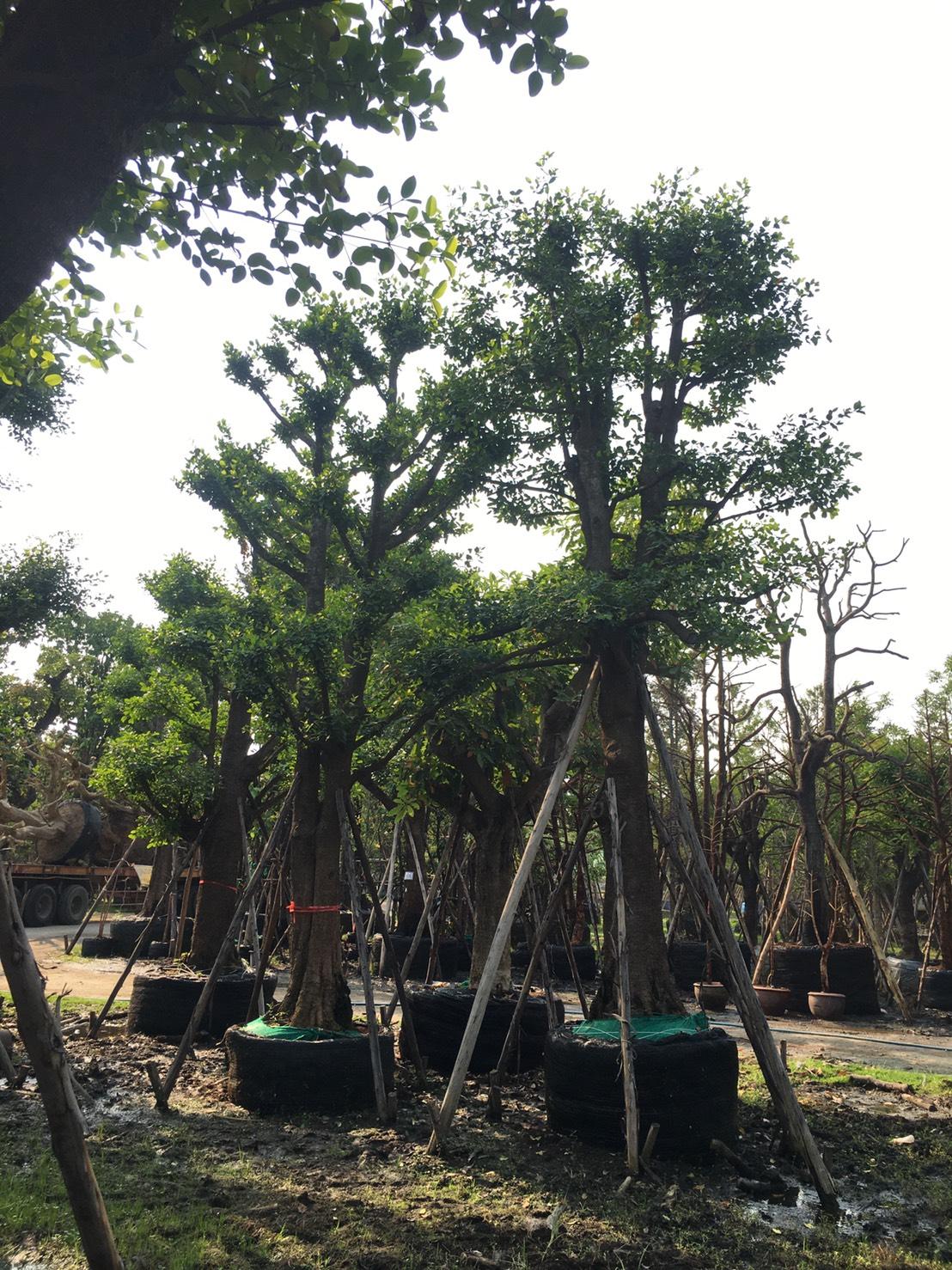 ต้นมั่งมี No.002