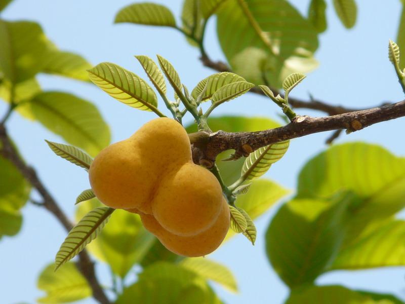 Mahada; Scientific Name: Artocarpus lacucha Roxb.