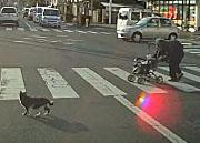 แมวแสนรู้ พาคุณยายข้ามถนน