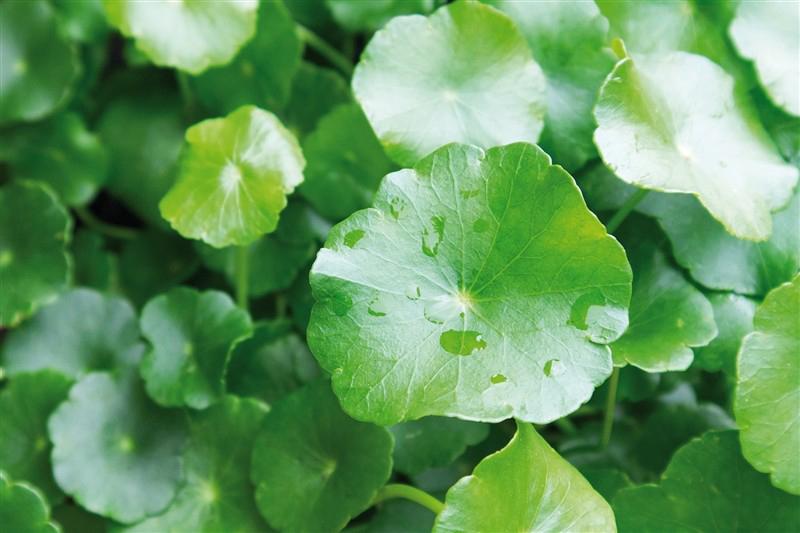 สารสกัดจากใบบัวบก (Centella Asiatica Extract) – ตัวเด็ดแบรนด์ดังทั่วโลกที่ใครๆก็ใช้ในสกินแคร์