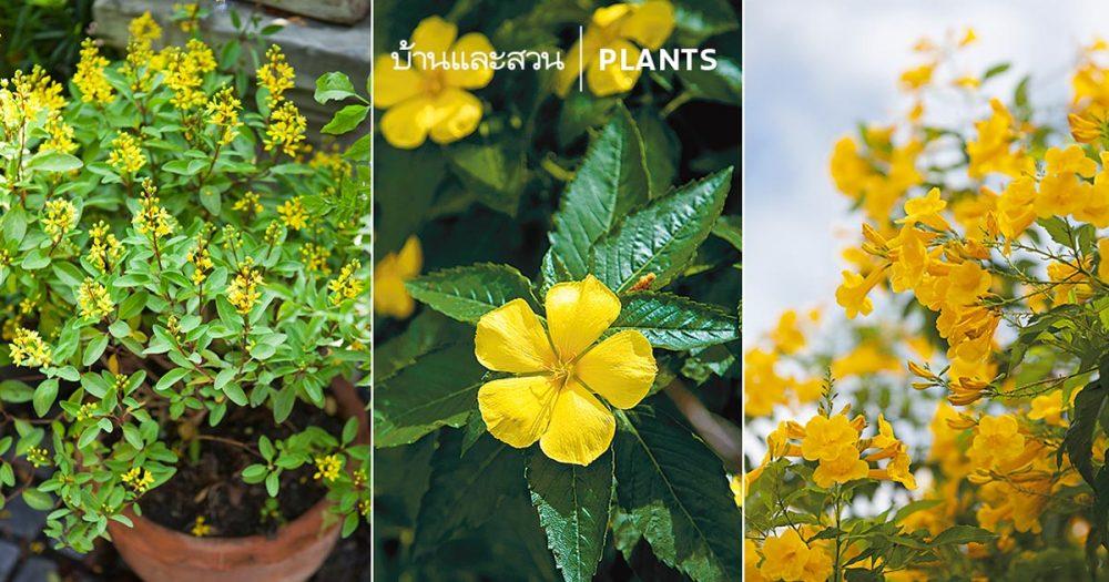 9 ไม้ดอกสีเหลือง ปลูกให้สวนสวยอร่าม