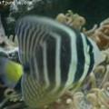 ปลาเบบี้แทงค์