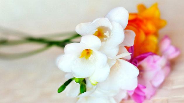 FREESIA ดอกไม้แห่งมิตรภาพและความรักนิรันด์