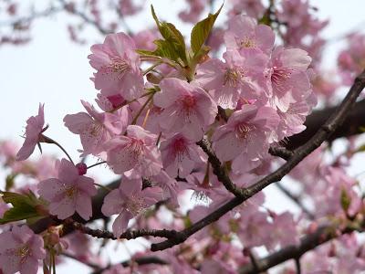(ชมซากุระ) ทัวร์เอเชีย ญี่ปุ่น ฮอกไกโด ฮาโกะดาเตะ ซากุระ 5 วัน 3 คืน บินแอร์เอเชีย (XJ)