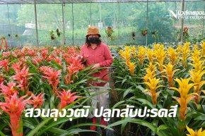 สวนลุงวุฒิ ปลูกเพาะขยายพันธ์สับปะรดสีใหญ่สุดในประเทศ