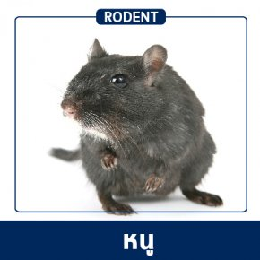 Pest Control & Protection Services : Rodents