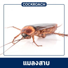 Pest Control & Protection Services : Cockroaches