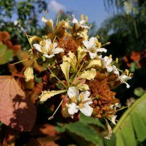 ใบไม้สีทอง สวยมันเงา ดอกหอมมากครับ