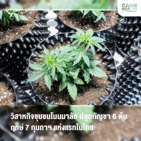 วิสาหกิจชุมชนโนนมาลัย ปลูกกัญชา 6 ต้น ฤกษ์ 7 กุมภาฯ แห่งแรกในไทย
