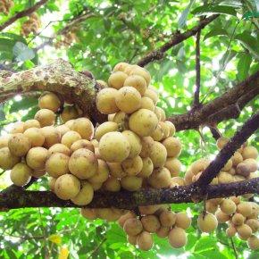 สวนผลไม้ไร้สารเคมี ผลผลิตคุณภาพดี ตลาดต้องการสูง