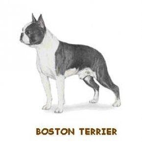 มาตรฐานพันธุ์บอสตัน เทอร์เรีย