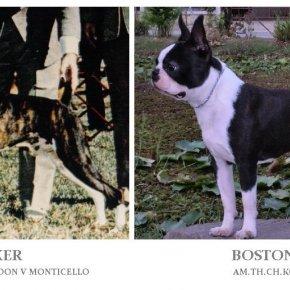 บอสตัน เทอร์เรีย กับสุนัขพันธุ์บ๊อกเซอร์