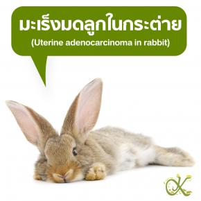 มะเร็งมดลูกในกระต่าย (Uterine adenocarcinoma in rabbit)
