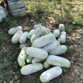 ฟักเขียว (Winter Melon)