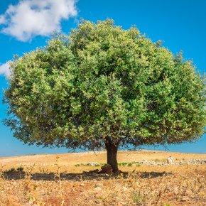 ต้นอาร์แกน Tree of Life