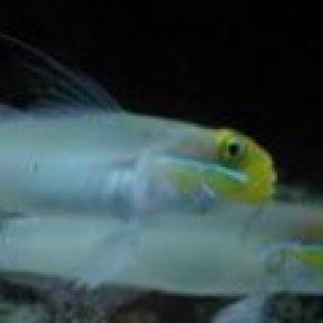 ปลาโกบี้อมทรายแก้มฟ้า
