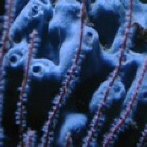 เชื่อหรือไม่ มนุษย์สืบเชื้อสายมาจากฟองน้ำใต้ทะเล มากกว่า ลิง