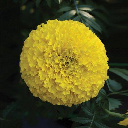 ดาวเรืองตัดดอก ทเว็นตี้ 100 เมล็ด