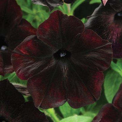 พิทูเนีย สีพิเศษ เดโบเนียร์  ดอกขนาดกลาง 100 เมล็ด