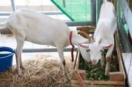 งานศึกษาและพัฒนาการปศุสัตว์