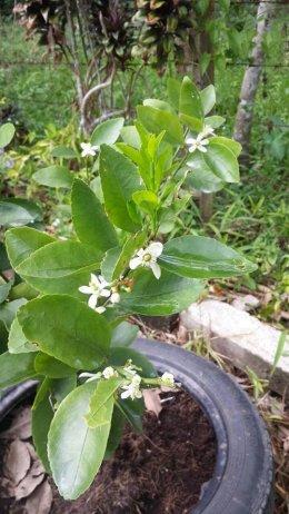 มะนาวใช้สารอาหารพืช เดือนกว่าๆแตกใบออกดอกดีมาก @^_^@