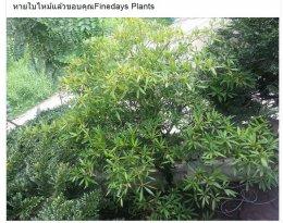 หายใบไหม้แล้วขอบคุณFinedays Plants